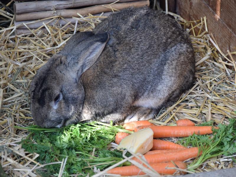 kaninchen hannover